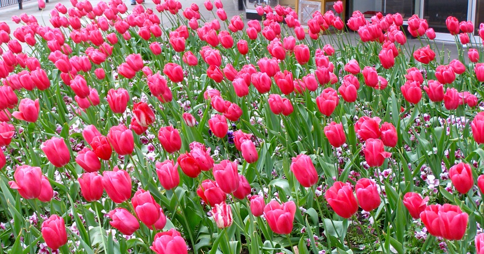 Tulips in London