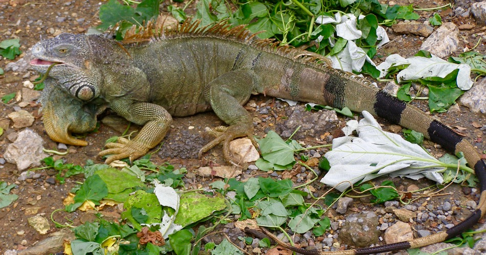 Iguana in Roatan, Honduras